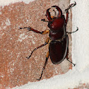 Reddish Brown Stag Beetle