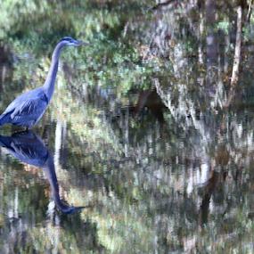 Posing for Monet by Ruby Stephens - Animals Birds ( great blue heron, greens, monet, hilton head island, reflections, mirror image, blues, spanish moss )