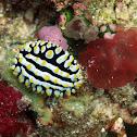 Maldives Sea Slug
