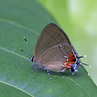 Red-lined Scrub Hairstreak