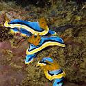 Anna's sea slug