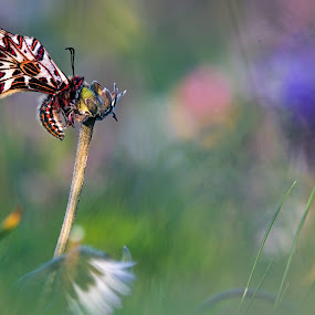 zerinthya polixena by Melchiorre Pizzitola - Animals Insects & Spiders ( animals/ butterfly/ nature / wildlife /zerinthya, animal, butterfy )