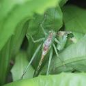Great Green Bush-Cricket (Grote groene sabelsprinkhaan)