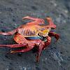 Zayapa (Red Rock Crab)