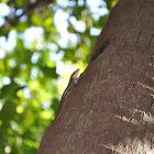 Olive Tree Skink