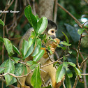 Macaco-de-cheiro-da-cara-preta (Black-faced Squirrel Monkey))