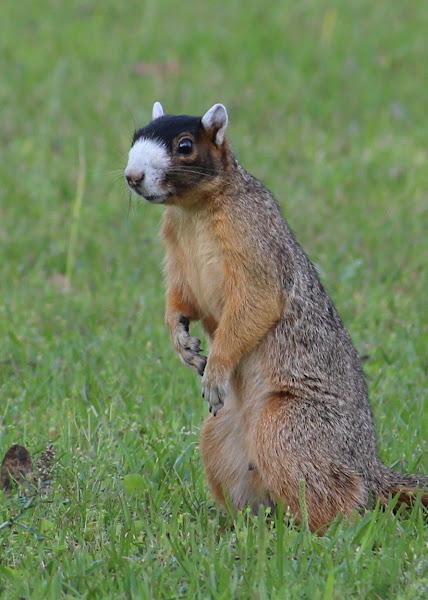 Bachman S Fox Squirrel Project Noah