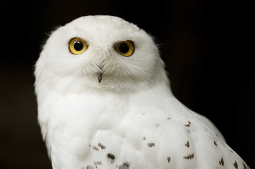 snowy-owl-zoo-Quebec - The cool gaze of the snowy owl at the  Zoo Sauvage de St-Felicien in Quebec, Canada.