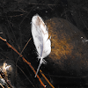 Duck Feather (signs of wildlife)