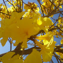 Ipê-amarelo (Yellow-ipe)