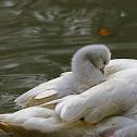 Little swan  (Mute swan)