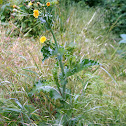 Spiny Sow Thistle
