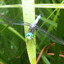 Blue Dasher (adult male)