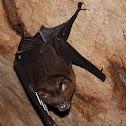 Great Roundleaf Bat