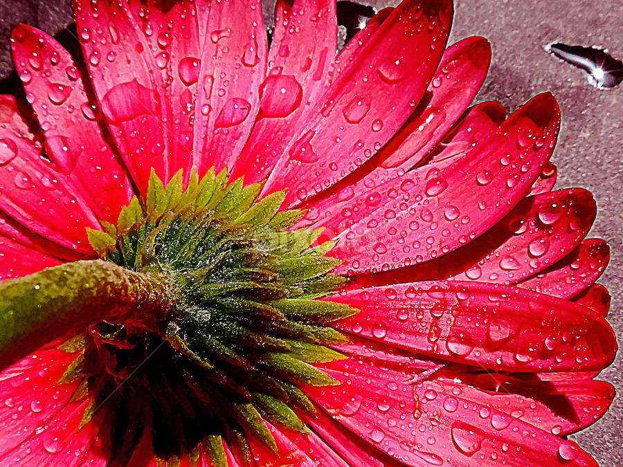 red gerber by LADOCKi Elvira - Flowers Single Flower ( nature, color, 2014, flowers, garden )