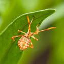 Leaf-Footed Bug - 1st Instar Nymph