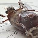 Beetle corpse