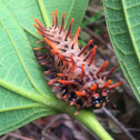 Golden Birdwing Caterpillar