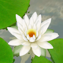 3D Lotus Live Wallpaper logo