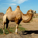 Camels Jigsaw Puzzles icon