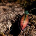 Chilean Beetle