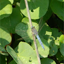 Keeled Skimmer ♂ (Μπλε λιβελούλη)