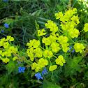 Leafy Spurge