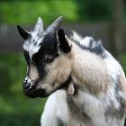 Goat (Hausziege)