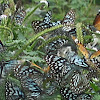 Blue tigers, Monarachs, Common Jay