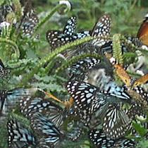 Butterflies of Tirupati