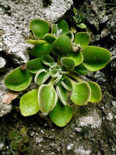 Aichryson palmense