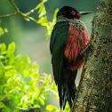 Lewis's Woodpecker