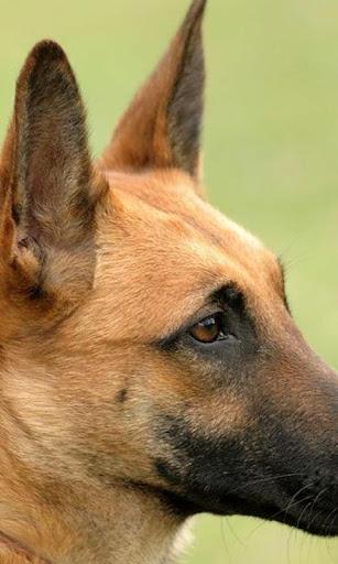 比利时玛利诺犬拼图