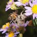 Wheel bug (feeding upon a European honey bee)