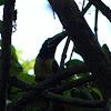 Black-necked Aracari