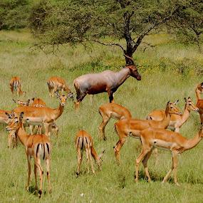 Topi among the Impala by DJ Cockburn - Animals Other Mammals ( aepyceros melampus, grassland, savannah, impala, serengeti, herd, antelope, topi, plains, damaliscus lunatus, africa, tanzania,  )