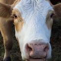 Cows Photo Book logo