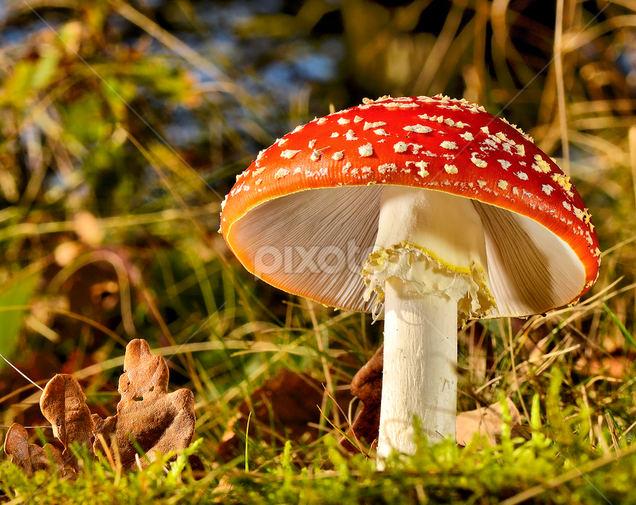 Fly agaric  by Keith Bannister - Nature Up Close Mushrooms & Fungi ( mushroom, flay agaric., nature, wildlife, shrooms )