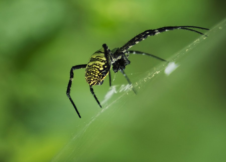 Spider by Fisca Octavina - Novices Only Macro ( fisca photowork )
