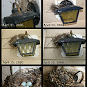 House Finch Nest