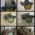 House Finch Nest