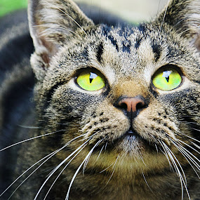 Cat by Ozge Kesim Yurtsever - Animals - Cats Portraits ( cat, cute cat, portrait of cat, green eyes,  )