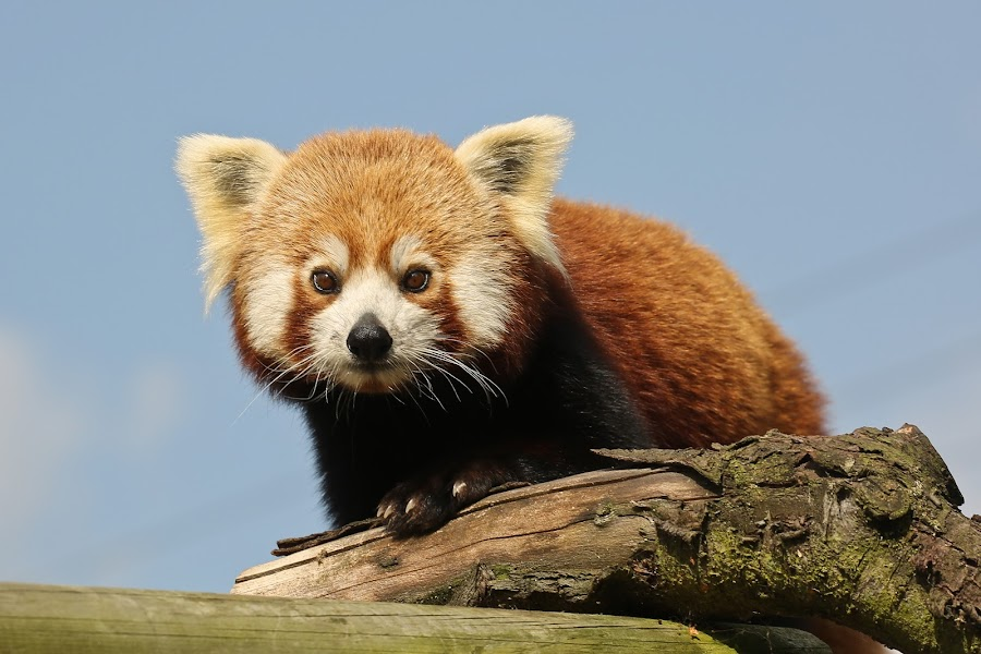 Red Panda. by Mark Milham - Animals Other ( wildlife park, wingham wildlife park, redpanda, panda, kent, red panda )