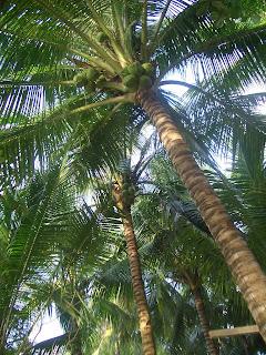 フィリピンのバサンバサ・ビーチ (Basangbasa Beach, Iloilo, Phillippines) という海岸に行った時に見つけた椰子の木のお花をご紹介します