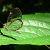 Glass-wing butterfly