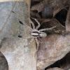 Wolf Spider, male