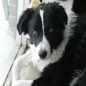 Border Collie Ultimate App