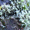 leaf like lichen