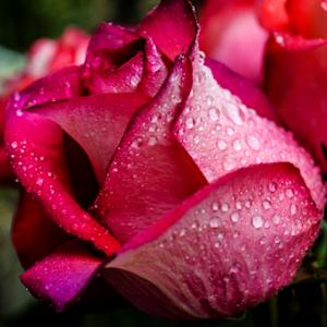 rose10-4-14.jpg