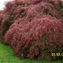 Japanese Maples (Red&Green)